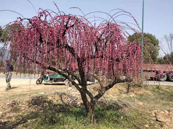 20公分垂丝红梅树