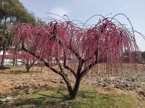 18公分垂丝红梅树
