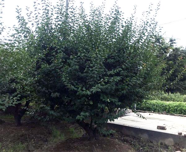 18公分红梅树